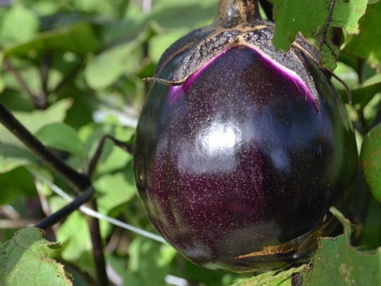 Pictured is an eggplant at a farm in South Jersey last