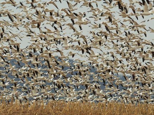 636555949669544648-Wolf-snow-geese.JPG