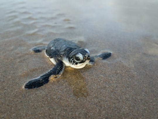 Learn about sea turtles with an up-close and personal Sanibel Sea School class at Sundial Beach Resort & Spa.