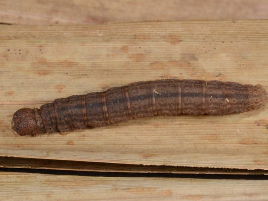 Small brown caterpillars can be hard to find on the