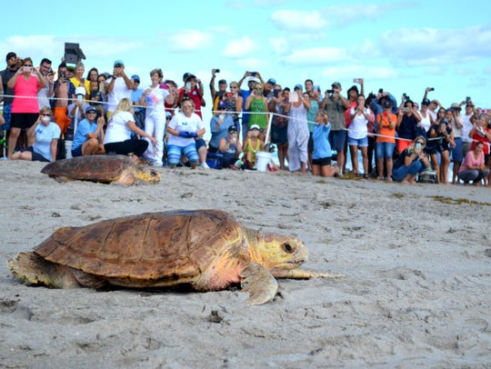 Crowds were overjoyed at the double sea turtle release