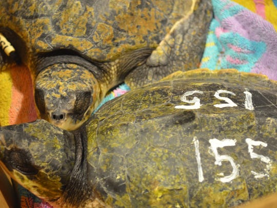 Cape Cod sea turtles are unboxed upon arrival at Loggerhead Marinelife Center in Juno Beach.