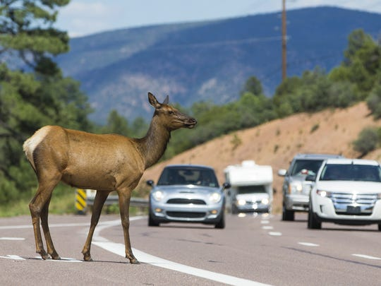 An elk attempts to cross Highway 260 in Payson on July 5, 2016.