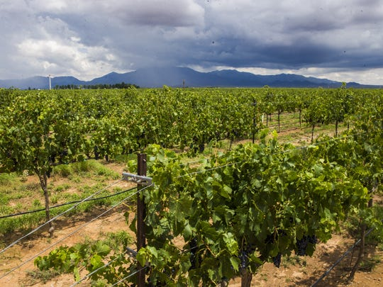 Grapes vines are backdropped by rain falling on the