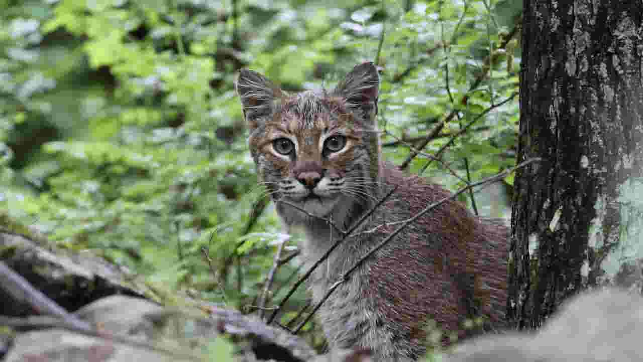 NJ has bobcats  Yep – and here s a way to save them 0ba90f226