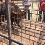Bird deaths a setback in Texas feral hog poison testing