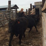 Cattle are unloaded Thursday at the Townsend Stockyards.