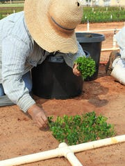 Sticking boxwood cuttings at Tennessee Valley Nursery, Winchester, TN. Submitted Photo