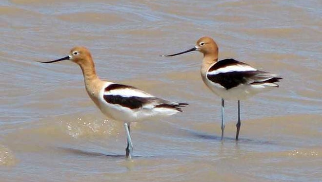 Two American avocets forage for food at the Uvas Valley playa in late summer 2017.