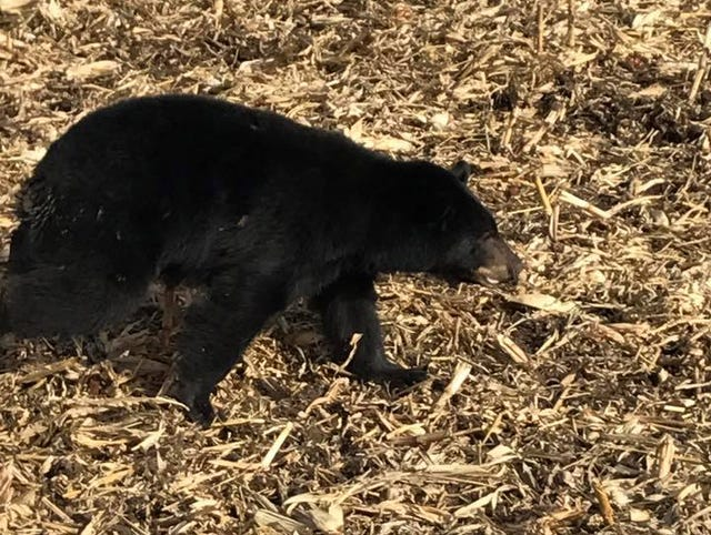 Iowa wildlife: Sighting, presence of bears, wolves and