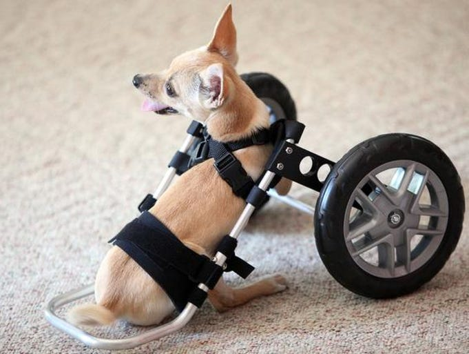 Sonny, a two-legged Chihuahua, sits down using his new wheelchair device.