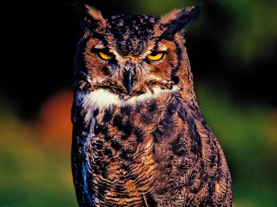 WDH 1219 Outdoor Rec Great horned owl.jpg