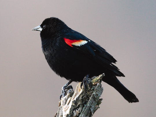 WDH 0206 Outdoor Rec Male Red-winged blackbird.jpg