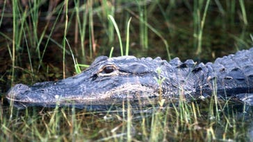 It's illegal to hunt alligators outside of hunting season without a permit — but it happens