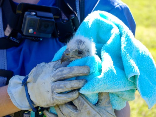 E8, the Internet-famous eaglet, returned to his live-streamed