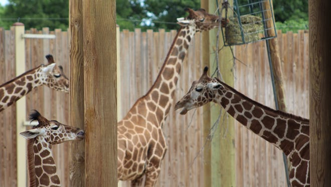 Thursday is World Giraffe Day and what the Abilene Zoo, at Nelson Park, has is plenty of giraffes. The zoo is open until 9 p.m. today, with last admittance at 8. You have plenty of time to spend with them. And all proceeds from the feeding deck go to the Giraffe Conservation Foundation.