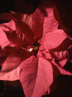 A poinsettia is the plant of choice for Christmas. It should remain in a good condition for the month of December and beyond.