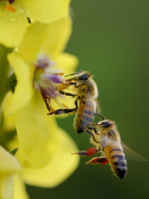Plants with showy flowers have the pollen dispersed by insects. Bees are an important pollinators of flowering plants.