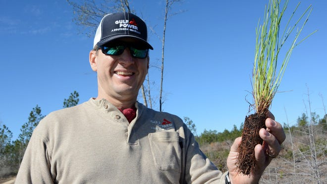 Scott Jordan, Gulf Power Land Management specialist, holds one of the 106,000 longleaf pine saplings that was recently planted on Gulf Power owned property in McDavid.