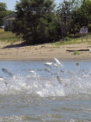 In this June 13, 2012, file photo, Asian carp, jolted by an electric current from a research boat, jump from the Illinois River near Havana, Ill.