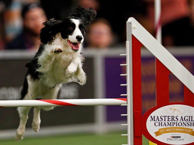 Westminster Dog Show Breed Judging