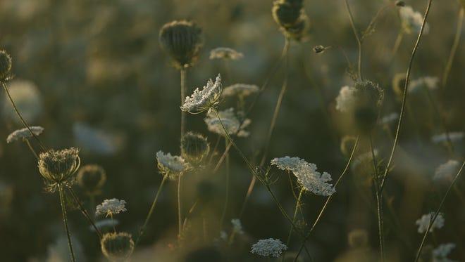 Queen Anne's Lace in a rural Iowa field.