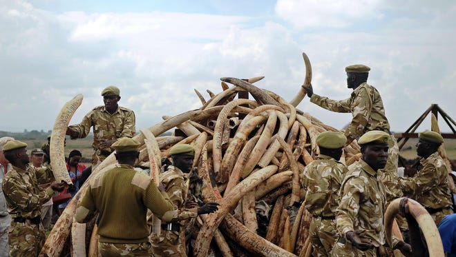 Kenya Wildlife Services (KWS) rangers pile up elephant ivory onto a pyre on April 20, 2016, at Nairobi's national park in preparation for a historic burning of tons of ivory, rhino-horn and other confiscated wildlife trophies. Kenya on April 30, 2016 will burn approximately 105 tons of confiscated ivory, almost all of the country's total stockpile.
