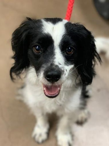 Kobe is available for adoption on April 14, 2019, at 1521 W. Dobbins Road in Phoenix. For more information, call 602-997-7585 and ask for animal number 600709.