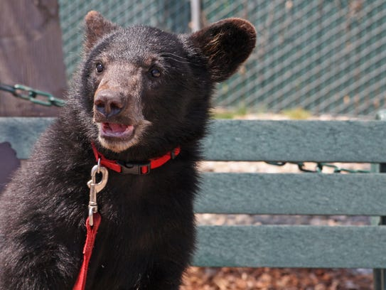 Payton, a black bear cub, enjoys the morning sunshine