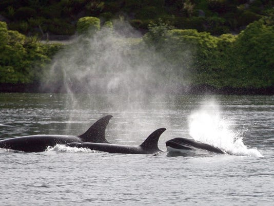 Orca whales come out of the water at Lions Park in Bremerton on Thursday afternoon. (LARRY STEAGALL / KITSAP SUN)
