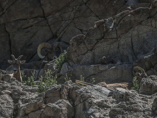 A group Bighorn Sheep at The Living Desert on Thursday,