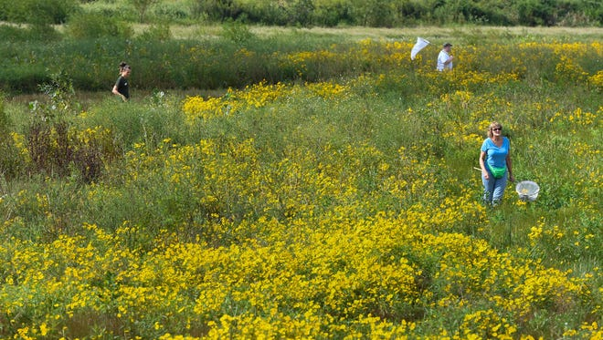 Butterfly hunters search amongst the wildflowers at the Sauerheber Wildlife Management Area in the Henderson County Geneva bottoms for the annual tagging of migrating Monarch butterflies sponsored by naturalists with Audubon State Park Saturday, September 10, 2016.