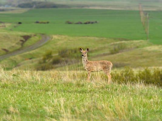 -04272016_wildart, white tail deer-a2.jpg_20160428.jpg