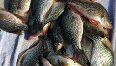 Are the fish in Florida's polluted waters safe to eat?
