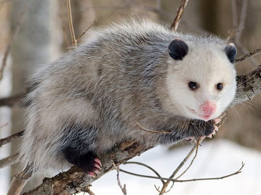 635859505212767358-possum-drop-2.jpg