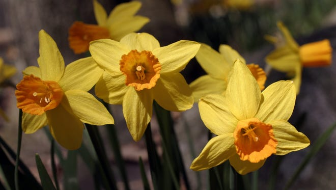 The earliest spring bulbs are crocus and snowdrops that raise their heads as soon as the earth thaws. These are followed by daffodils, tulips, hyacinths, fritillaries, late blooming tulips, and alliums to name some