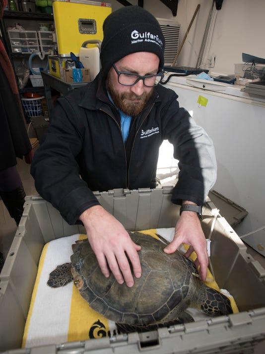 Cold Stunned Sea Turtles-Gulfarium