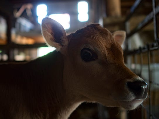 Vern, a Jersey cow calf, hangs out in the barn at Lee