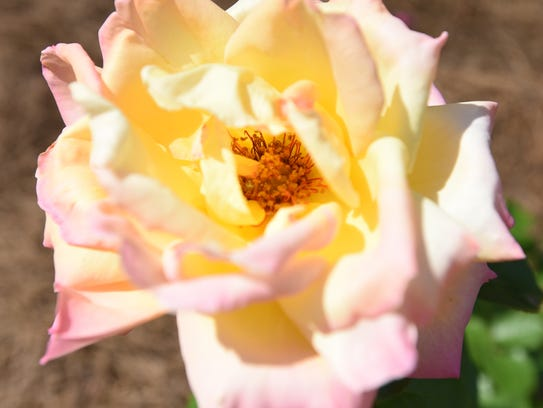 A Peace Rose at the American Rose Society.