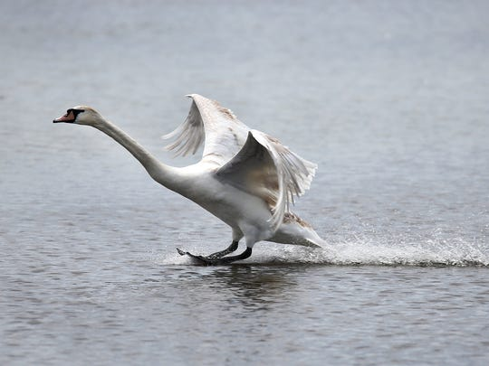 A mute swan comes in for a graceful landing on Buck Pond in Greece.