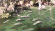 Blue Spring2__credit Save the Manatee Club