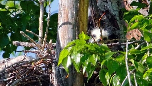 A young chick peeks over the edge of the nest at the photographer.