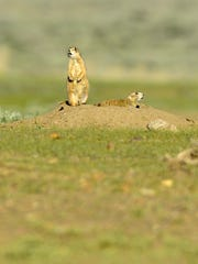 Prairie dogs sit in a prairie dog town on the American