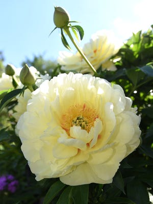 Kathy Barker especially likes the Bartzella peonies that are growing in her garden. She hopes their blooms will  hold out until the garden walk.