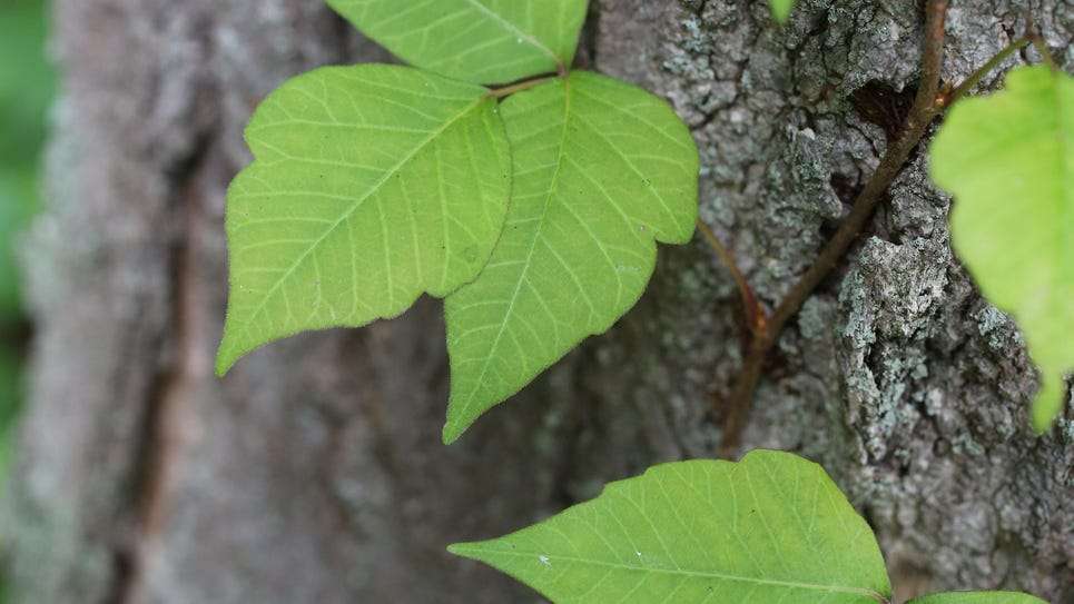 TJN 0711 poison ivy