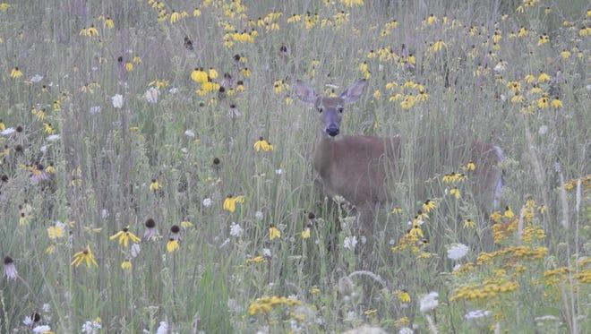 A deer explores Little Manitowoc Prairie.
