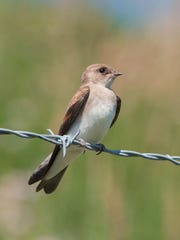 Right Northern Routh-winged swallow