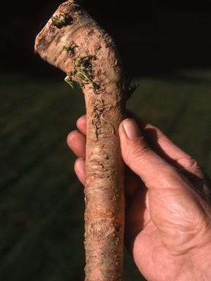 The thick mature horseradish root is covered with a brown tissue after diffing. For growing a thick root, remove soil around upper root portion and cut off side roots. Wait for two to three years before diffing out main root.