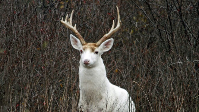 A white buck stands in underbrush at the former Seneca Army Depot in 2012.