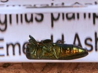 A preserved specimen of the Emerald Ash Borer lies on top of a piece of bark one of the insects has inhabited.